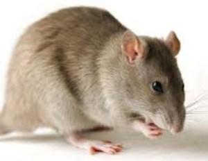 LASSA FEVER RESERVOIR: The mastomyms rat