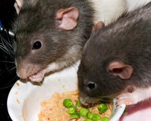 Lassa fever rat