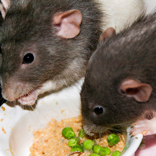 Lassa fever kills doctor in Rivers state